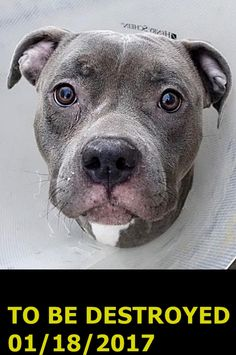 Manhattan Center My name is BLU SKYLA. My Animal ID # is A1101257. I am a spayed female blue and white am pit bull ter mix. The shelter thinks I am about 2 YEARS I came in the shelter as a OWNER SUR on 01/09/2017 from NY 10467, owner surrender reason stated was TOO STRONG. http://nycdogs.urgentpodr.org/blu-skyla-a1101257/