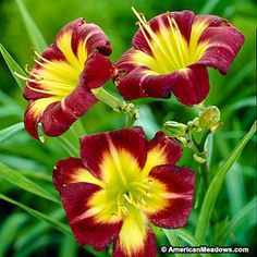 This knockout variety has dark, reddish-purple petals with stunning, yellow-green centers. A very dramatic re-blooming flower, it blooms both spring and fall. (Hemerocallis)