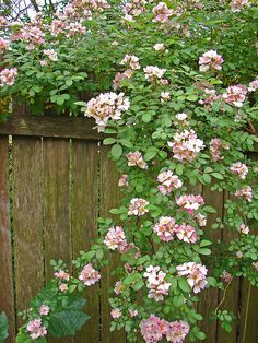 Roses over the back fence
