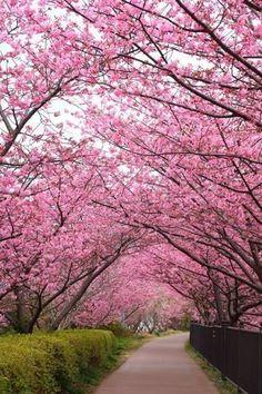 Photo about Sakura path, Kawazu cherry tree in shizuoka japan. Pink Blossom Tree, Cherry Blossom Japan, Pink Trees, Cherry Blossoms, Pink Flowering Trees, Colorful Trees, Beautiful World, Beautiful Gardens, Beautiful Flowers