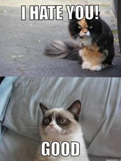 angry cat  grumpy cat