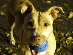SAFE !    -11/07/13 Manhattan Center -P~SAMMY~ID # is A0983057. Female tan and white pit bull mix. 2 YEARS old.OWNER SUR on 10/24/2013. She's easy to leash,is housetrained, likes kids/people/dogs, walks calmly on leash. She's quiet and sweet. She's been well taken care of. Sammy is a family girl through and through and is IN NEED OF A NEW FAMILY to take care of. She's compact and easy and will be A CONSTANT FRIEND to the family lucky enough to adopt her.
