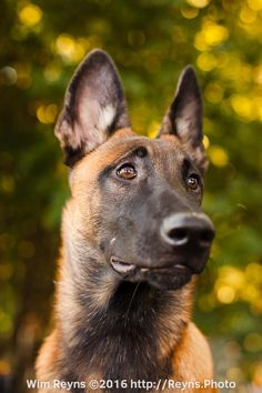 5 months old malinois puppy Zino