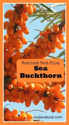Sea Buckthorn Berry has an amazing mix of fats and nutrients, which makes it a must have in any inflammatory or chronic conditions. @loulanaturopath