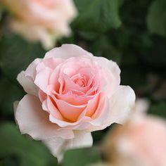 ROse, Johann Strauss, バラ, ヨハン シュトラウス, | ROse, Johann Strauss… | Flickr