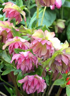 "Helleborus 'Peppermint Ice' ""Lenten Rose""  Great plants for dry shade. Deer don't like them and a dose of Sluggo will keep the snails at bay."