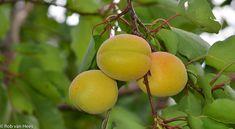 9f93733af6bac6e86fd2f251e6ad43c2_medium. Prunus, Compost, Plum, Medium, Peach, Composters, Medium Long Hairstyles