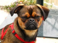 The Brussels Griffon is known for the almost human expression on his face. He is highly intelligent and sensitive. Even though he requires the protections needed by any toy breed, the Brussels Griffon is a total companion, bright and alert. If he feels threatened, he kicks up a big fuss.