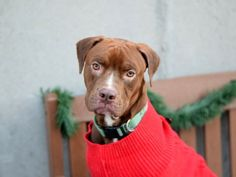 RETURNED 1/6/17 ALLERGIES!!! SAFE 1/4/17!!! Brooklyn Center MILO – A1098677 ***SAFER : AVERAGE HOME*** MALE, BROWN / WHITE, AM PIT BULL TER MIX, 1 yr OWNER SUR – EVALUATE, NO HOLD Reason PERS PROB Intake condition UNSPECIFIE Intake Date 12/04/2016, From NY 10314, DueOut Date 12/04/2016