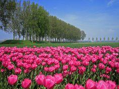 Tulips in Heikant, Netherlands