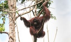 An orangutan in Kehje Sewen forest, Indonesia. The species has been threatened by deforestation caused by palm oil plantations.
