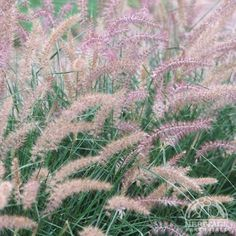 """Pennisetum orientale 'Karley Rose' (Oriental fountain grass) 