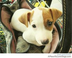 Cute little Jack Russell in a purse.- love these dogs! So cute! I want one!:)