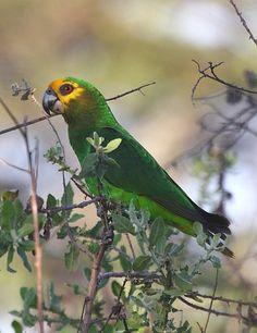 Birds Parrots Yellow-fronted Parrot, Ethiopia
