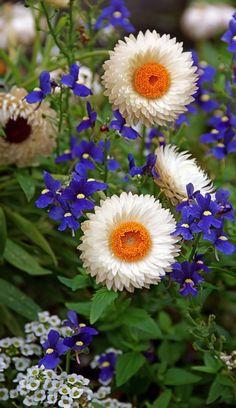 Straw flowers and lobelia