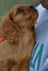 Ruby Cavalier King Charles spaniel. What's Good About 'Em? The CKCS loves to be praised for being a good dog. This canine is polite, sweet-tempered and eager to please, much like every teacher's pet. The cavalier becomes very attached to her owner and will eagerly follow you around, lapping up any attention given to her. She excels in obedience training and plays well with others when properly socialized. Lots of cuddles and attention is all this pooch needs to feel like the apple of your…