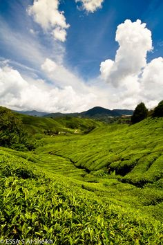 tea Plantation, BOH Cameron Highlands, Malaysia ~ founded in 1929 by a British businessman during the colonial era