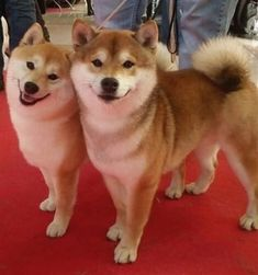 If you feel like youre needing much doge in your life maybe a Shiba Inu puppy is right for you! If you feel like youre needing much doge in your life maybe a Shiba Inu puppy is right for you! Shiba Inu Doge, Shiba Puppy, Akita Dog, Cute Puppies, Cute Dogs, Canis Lupus, Japanese Dogs, Japanese Dog Breeds, Spitz Dogs