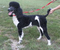 Standard Poodle Dames For Sale | Breeders | Renowned Poodles