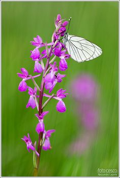 Anacamptis laxiflora & Aporia crataegi | FotoCesco on facebo… | Flickr