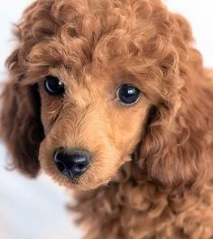 red miniature poodles, miniature red poodles Tucson AZ,