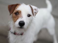 brown jack russell long haired - Google Search