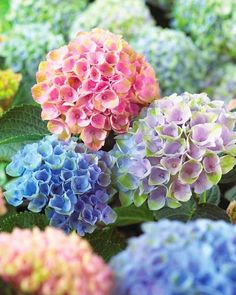 pretty hydrangea flowers in pink, blue and purple