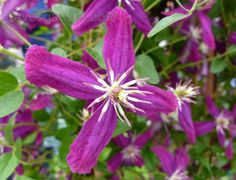 Full size picture of Hybrid Sweet Autumn Clematis, Sweet Autumn Virgin's Bower, Japanese Clematis 'Sweet Summer Love' (<i>Clematis</i>)