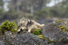 Sea Wolves | Pacific Wild
