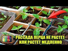 РАССАДА ПЕРЦА НЕ РАСТЕТ ИЛИ РАСТЕТ МЕДЛЕННО ЧТО ДЕЛАТЬ - YouTube