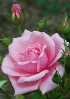 If you are thinking of rose gardening don't let this rumor stop you. While rose gardening can prove to be challenging, once you get the hang of it, it really isn't that bad. Amazing Flowers, Beautiful Roses, Beautiful Flowers, Beautiful Beach, Purple Roses, Pink Flowers, Pink Rose Flower, Lavender Roses, Foto Rose