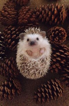 Super cute hedgehog story created on Steller by - Cutest Baby Animals Baby Animals Pictures, Cute Animal Pictures, Funny Animals, Cutest Animals, Animal Pics, Baby Animals Super Cute, Cute Little Animals, Hedgehog Pet, Cute Hedgehog