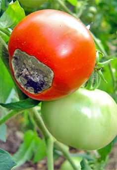 Blossom End Rot. BHow to combat it - read more: http://www.tomatodirt.com/blossom-end-rot.html