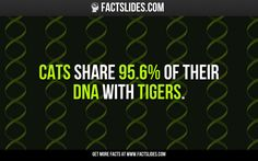 12 Facts about Tigers ←FACTSlides→ Cats share of their DNA with tigers. Facts You Didnt Know, Did You Know, Wtf Fun Facts, Random Facts, Random Stuff, Crazy Cat Lady, Crazy Cats, Fact Slides, Pet Supermarket