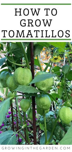 How to Grow Tomatillos: 7 Tips for Growing Tomatillos | Growing In The Garden