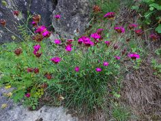 Dianthus carthusianorum / Kartäuser Nelke [dunkel pink  wintergrün   Begleitstauden   Heimische Steppenheide]