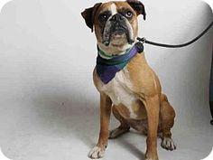 San Pedro, CA - Boxer. Meet GERDIE, a dog for adoption. http://www.adoptapet.com/pet/13337933-san-pedro-california-boxer