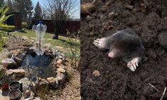 Garden Pests, Pest Control, Organic Gardening, Goats, Animals, Animales, Animaux, Animal, Animais