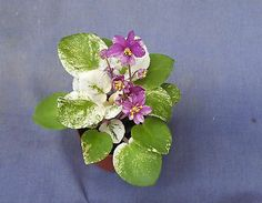 """TRAILING AFRICAN VIOLET 'RAMBLING AMETHYST' VARIEGATED PLANT SHIPPED IN 2"""" POT"""