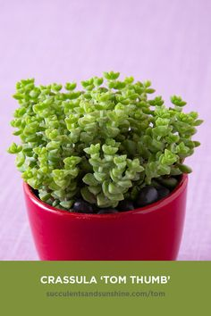 "This tiny succulent adds excellent ""filler"" and ""spiller"" in succulent arrangements. It can also be added to living succulent wreaths! 'Tom Thumb' grows quickly, with its bright green, triangle-shaped leaves stacking on top of each other. The edges of the leaves turn red when stressed. #tomthumb #crassula #succulents #succulentsandsunshine #outdoorsucculents #succulentgarden"