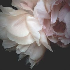 The peony, one of Kate's most popular images is now available as a  photographic print.This is an open edition fine art print.These prints are unframed.Each image is custom printed in Sydney and signed by Kate. Please allow approx 2 weeks for printing.