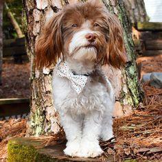 JUST LAUNCHED: The Adelphi Bow Tie for Dogs as modeled by Official Brooklyn Bowtied Model Ginger!  #dogsinbowties #bowtie #dogbowtie #dapperdog #brooklyn #handmade #shopsmall #brooklynbowtied #madeinbrooklyn #animalsinbowties #adoptdontshop #etsy #dogsofbrooklyn #dogsofinstagram #etsygifts #barkbox #calledtobecreative #marthastewartpets #ohwowyes #dogsinbetween #ruffpost #pawpack #pawstruck #barkpack #bestwoof #dogsofinstaworld #houndsbazaar #creativelifehappylife by brooklynbowtied