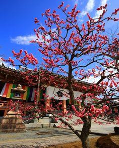 京都 智積院の梅 (2017/03/24撮影) 4月から始まる進撃の巨人第二期が楽しみ #智積院 #梅 #京都 #梅の花 #京都の梅 #梅の木 #春 #春の京都 #一眼レフ #広角レンズ #キヤノン #写真好きな人とつながりたい #写真撮ってる人と繋がりたい #カメラが好きな人と繋がりたい (Kyoto, Japan)