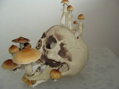 Treatment of migraine headaches with Psilocybin Mushrooms - Gourmet and Medicinal Mushrooms - Shroomery Message Board