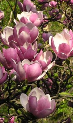Magnolia × soulangeana, with large, showy flowers opening before the leaves.