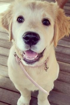 "livingpursuit: ""Golden Puppy "" #GoldenRetriever"