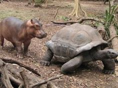 This baby hippo, in the wild, lost it's mom tragically. But it found an old male tortoise to be its surrogate mother.