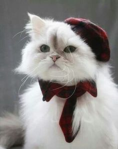 Gorgeous cat with a hat and a pretty collar.
