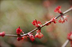 cercidiphyllum japonicum.