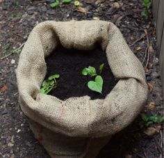 17 Apart: Sack o' Potatoes: Planting Sweet Potatoes in a Bag! Now I can try to grow potatoes on my deck!